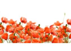 罂粟鲜花摄影