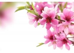 美丽桃花背景