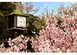 美丽樱花与时间