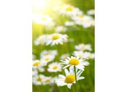 阳光与菊花