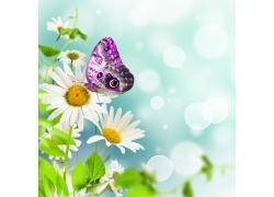 蝴蝶与菊花