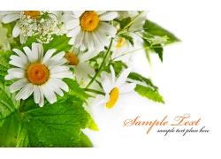 美丽的雏菊花朵