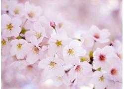 美丽樱花背景