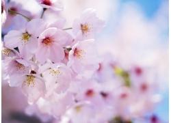 樱花背景底纹