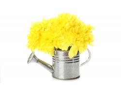 黄色菊花和喷壶