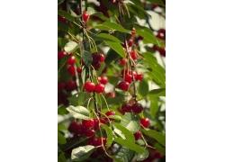 树上结的红色果实