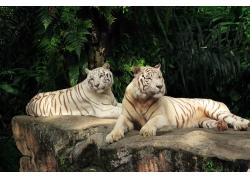 趴着的两只老虎