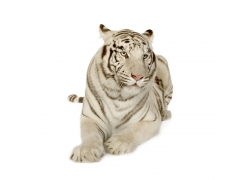 趴着的一只老虎