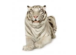 一只趴着的白色老虎