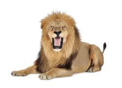 张开大嘴趴着的狮子