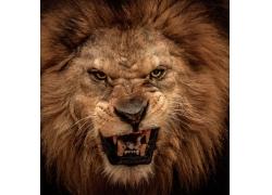 张开嘴的狮子头部