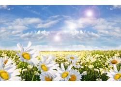 阳光下的白色菊花