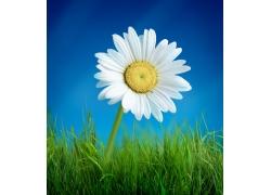 草地上的白色菊花