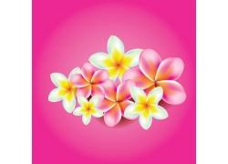 美丽的粉色和淡蓝色鸡蛋花