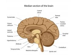 棕色大脑结构图