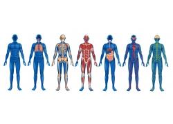 彩色男性人体解剖学