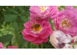 月季花瓣上的蜜蜂