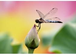 停在荷花上的蜻蜓