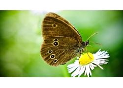 菊花与蝴蝶