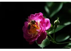 月季花采蜜的蜜蜂