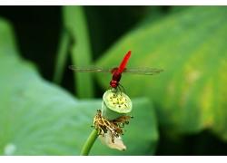 荷花上的红蜻蜓