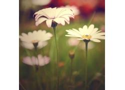 花丛中的白色菊花