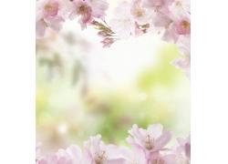 粉色的梅花围绕