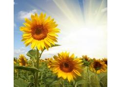 蓝天下的向日葵