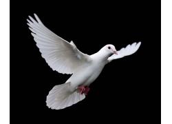 飞翔的鸽子
