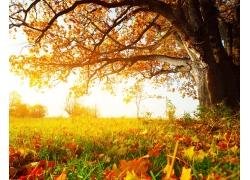 秋天枫树与草地落叶风景