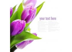 紫色郁金香花束