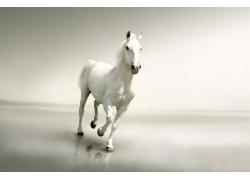 奔跑的白色马匹