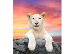 石头上趴着的豹子