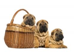 可爱的沙皮犬和篮子