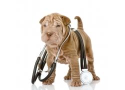 戴着听诊器坐着的沙皮犬