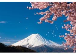 盛开的樱花和富士山