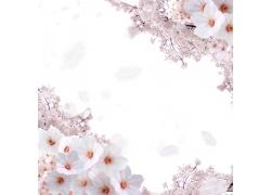 盛开的美丽樱花背景