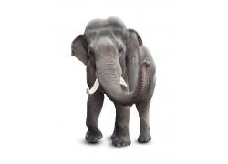甩鼻子的大象