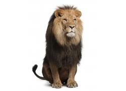 坐着的公狮子