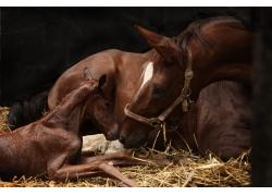 鼻子贴鼻子的马匹和马驹
