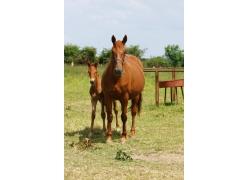 站着的马驹和马匹