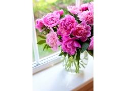 娇艳盛开的粉色菊花