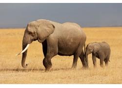 草原上的大象小象摄影