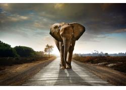 公路上的大象摄影