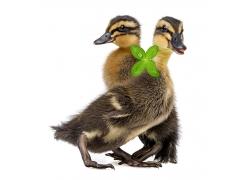 可爱鸭子与四叶草