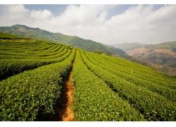 绿色茶园背景