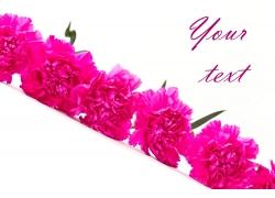 康乃馨花朵摄影