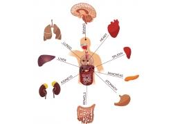 人体器官介绍