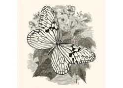 花枝上的蝴蝶插画图片