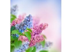 美丽丁香花